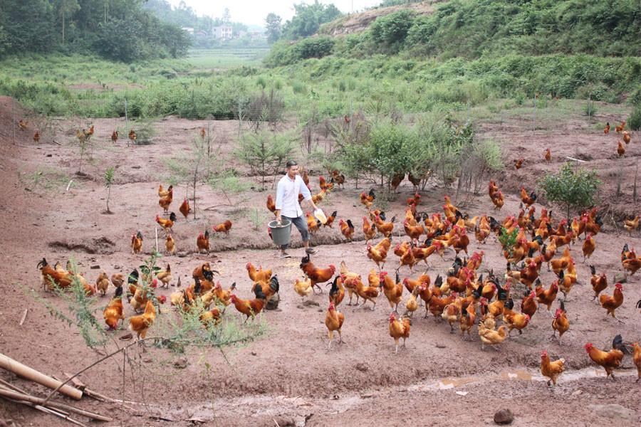 林下养鸡:自带养鸡场的优质林地出租转让