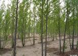 库伦旗189亩快成材林地流转
