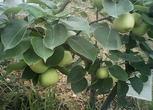 四川德阳罗江县120亩果园转包