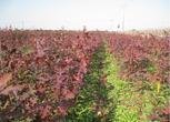 浙江湖州长兴县43亩成熟苗圃转让