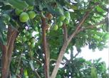 广西来宾合山市澳洲坚果果园转让