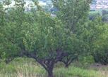200棵大黄杏树及山坡地、农家院对外低价出租