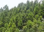 云南文山丘北县1000亩杉木及红豆杉林地转让