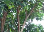 广西来宾18亩果园转让