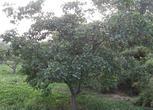 山东菏泽牡丹区33.15亩果园转包30万元