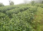 普洱500亩有机茶地转让或合作