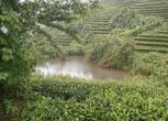 云南400亩承包茶地流转