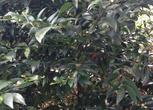 福建省龙岩市新罗区30亩竹柏树、毛竹土地出租