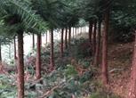 湖南怀化150亩杉树林转让 面议