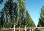 转让新疆昌吉500亩林业用地