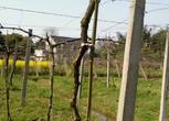 吴江市平望镇12亩成熟葡萄园转让