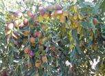 新疆阿克苏市郊区105亩果园转让