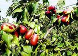 新疆1000亩红枣地出售