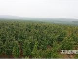 山東煙臺海陽市400畝林權轉讓