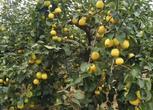 郑州开封兰考40亩梨园 1100颗20年梨树