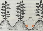 辣椒定植的需要注意的三个点,你忽视了吗?