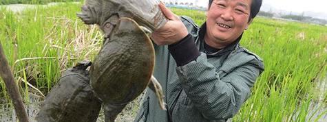 甲魚鱉養殖技術大剖析及生態甲魚養殖基地資源推介