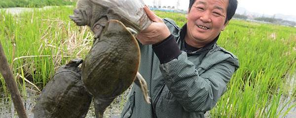 甲鱼鳖养殖技术大剖析及生态甲鱼养殖基地资源推介