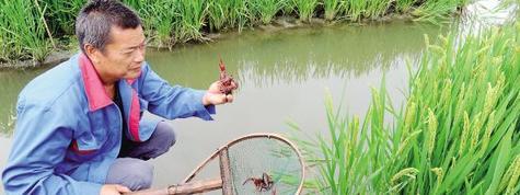 稻虾共生(水稻&小龙虾)高效生态种养模式及成功项目案例效益分析,稻虾基地水稻田出租出让