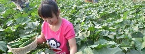 黃秋葵種植栽培技術及功效產能經濟效益分析,秋葵種植基地與土地資源推介