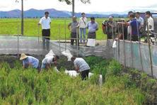 稻田基围虾淡水养殖技术剖析:苗种投放及饲养管理等技术分析