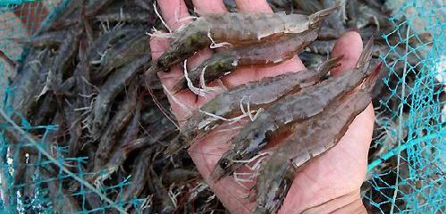 基围虾淡水养殖技术及成本利润亩产价值分析,基围虾养殖基地出租转让