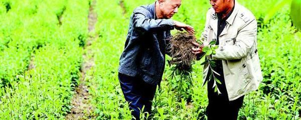 苍术种植栽培管理技术及产业投资亩产价值分析,苍术种植基地与土地资源推介