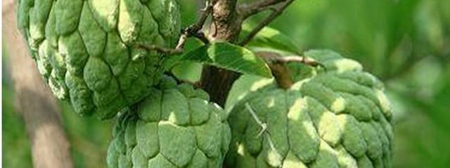 番荔枝释迦果种植栽培技术及亩产价格效益分析,释迦果种植基地与土地资源推介