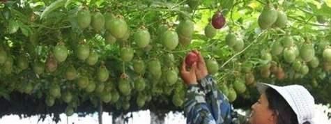 百香果种植栽培管理技术及亩产价格行情分析,百香果种植基地土地推介