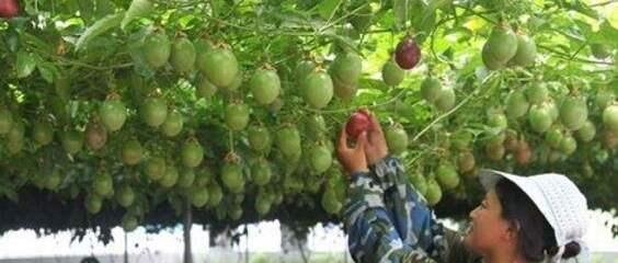 百香果種植栽培管理技術及畝產價格行情分析,百香果種植基地土地推介