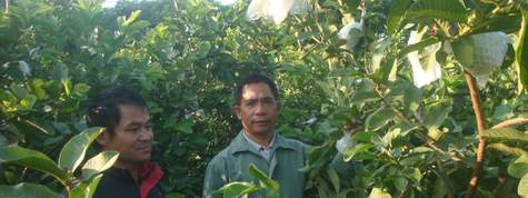 番石榴芭乐种植栽培技术及产量产值市场行情分析,番石榴种植基地与土地资源推介