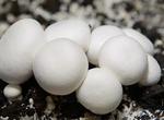 双孢菇的家常做法大全