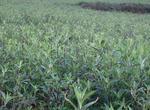 龙胆草的种植技术