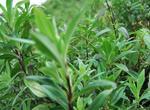 龙胆草的产地分布