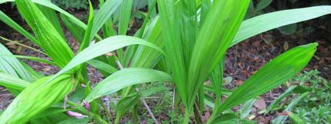 白芨種植栽培管理技術及畝產價格行情分析