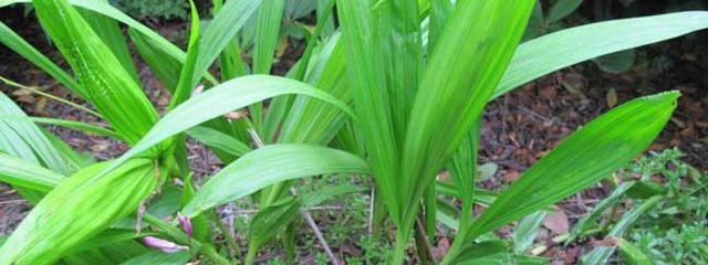 白芨种植栽培管理技术及亩产价格行情分析