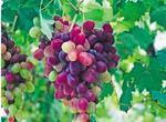 红地球家庭农场的葡萄熟了 夏黑、巨峰、红宝石……蜂拥上市!