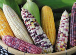 我国克隆首个玉米单向杂交不亲和基因(图)