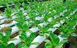 山东阳谷打造蔬菜产业示范带(图)