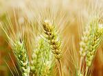 全国优质专用小麦产业联盟成立(图)