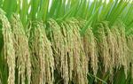 惠州农户争种高产优质稻(图)