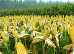 2018年山东玉米价格行情怎样?如何选好的品种?怎样实现高产种植?