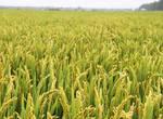 2018稻米价格行情怎样?秋收后怎么储藏稻米?种植过程需要注意的事项