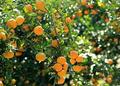 湖北丹江口:柑橘产量下滑(图)