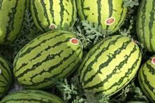 金城5号西瓜品种好不好?什么时候种植?