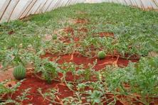西瓜种植需要什么条件?种植效益有多高?