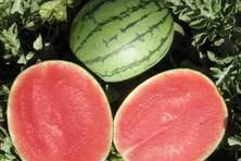 帅童西瓜品种好不好?种植效益有多高?