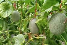 哈密瓜含有哪些营养成分?什么时候种植?