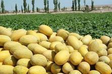 哈密瓜属于热性还是凉性水果?什么时候播种?