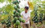 木瓜如何越冬防寒?种植效益有多高?